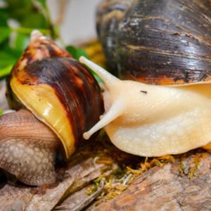 giant afican snails _1000px