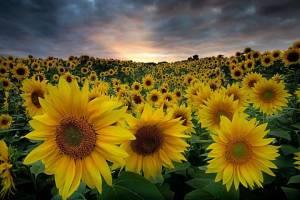 Keith Trueman - Sunflowers